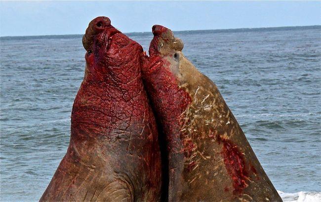 Самці південного морського слона в кривавому поєдинку