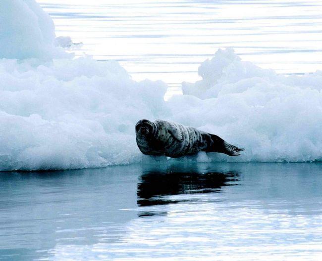 Їжа цих тюленів - креветки та інші морські тварини.