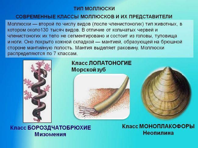 Класифікація молюсків