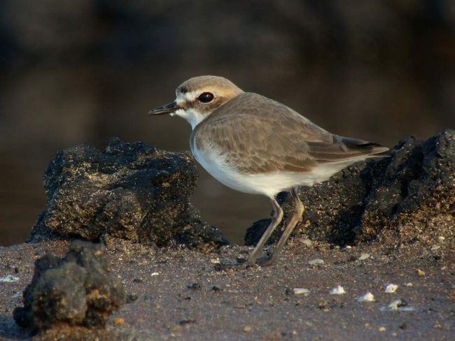 Морські зуйки відносяться до рідкісних видів птахів.