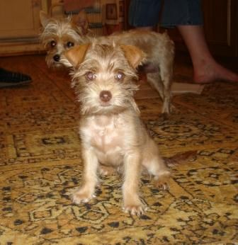 Московський дракон - невелика собака, з деякими особливостями вовняного покриву.