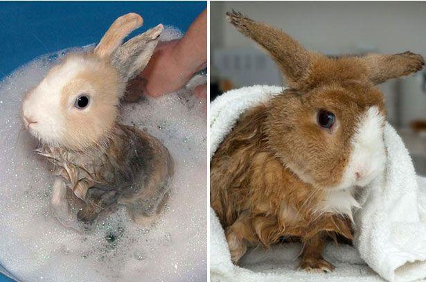 Повний купання кролика
