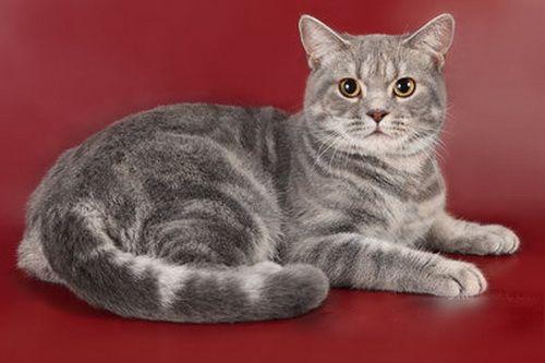 британські кішки мармурового забарвлення забарвлення таббі