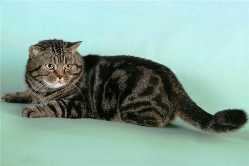 британські кішки мармурового забарвлення