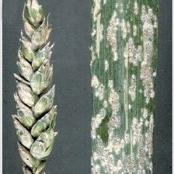 Борошниста роса пшениці