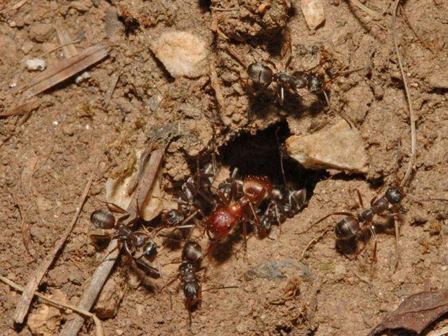 Мурахи-амазонки захоплюють лісових мурах.