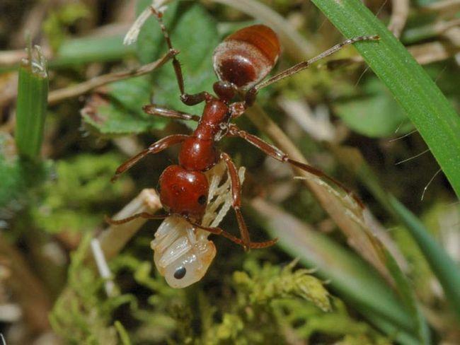 Ці мурахи живуть і в нашій країні.