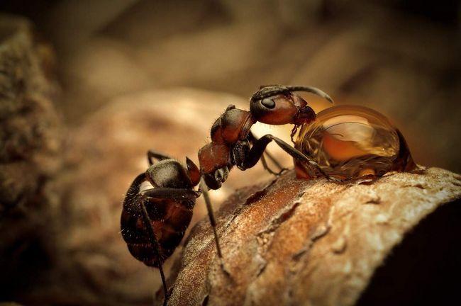Цих мурах називають кривавими мурахами.