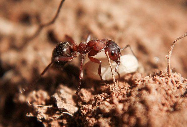 Мураха-рабовласник з яйцем мурашки іншого виду