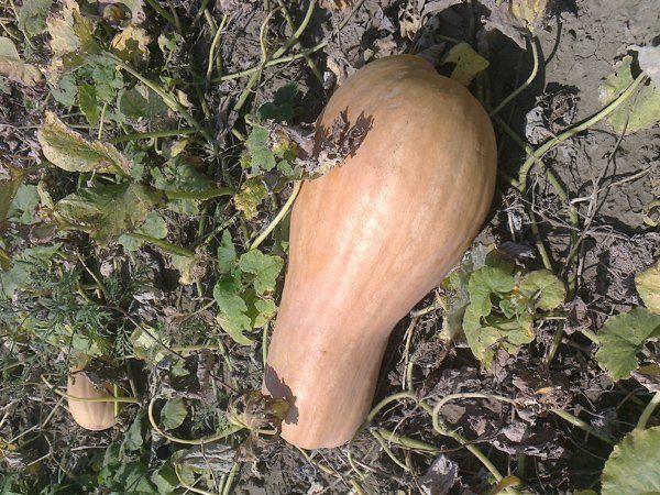 Сорт мускатною гарбуза на грядці