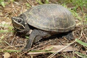 Мускусна черепаха: зміст