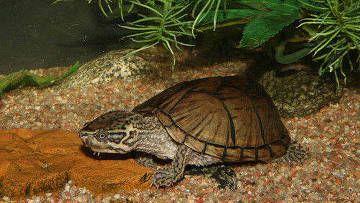 Мускусна черепаха, Sternotherus odoratus