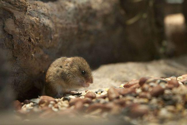 Миша-крихітка (лат. Micromys minutus)