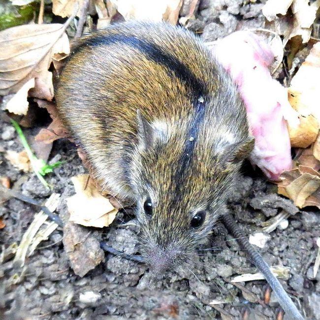 Миша польова (Apodemus agrarius).