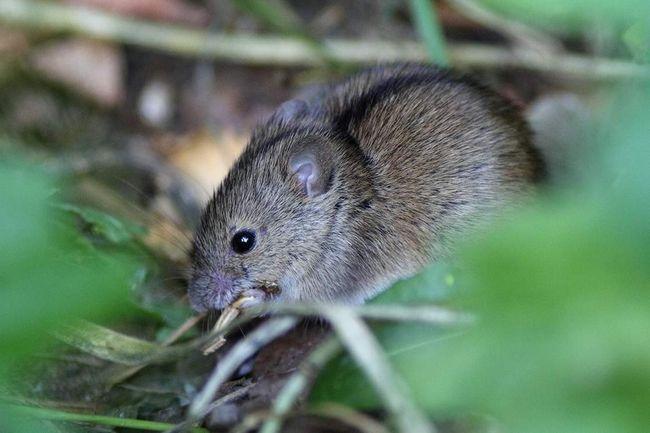На спині у миші темна смужка - це її відмітний знак.