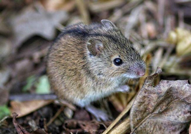 Польові миші - дуже плідні звірятка.