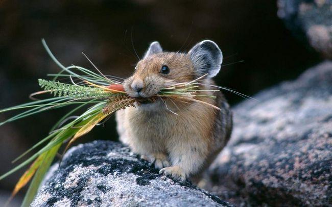 Основна їжа для польової миші - рослинна.