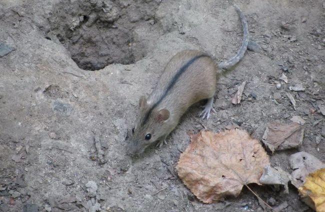 Польові миші сплять цілий рік, вони не впадають в сплячку.