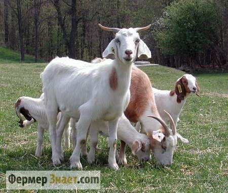 На що орієнтуватися при покупці кози: важливі моменти