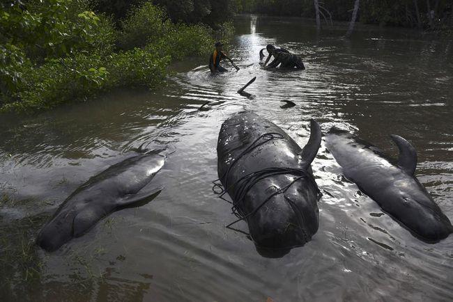 Тварин тягнули в воду за допомогою тросів.