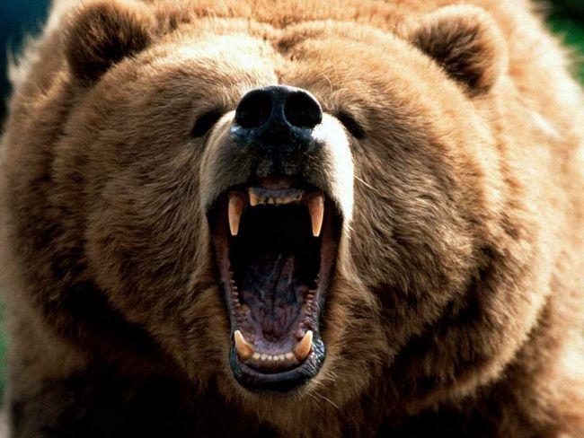 Ведмідь убив 20 оленів на Ямалі.