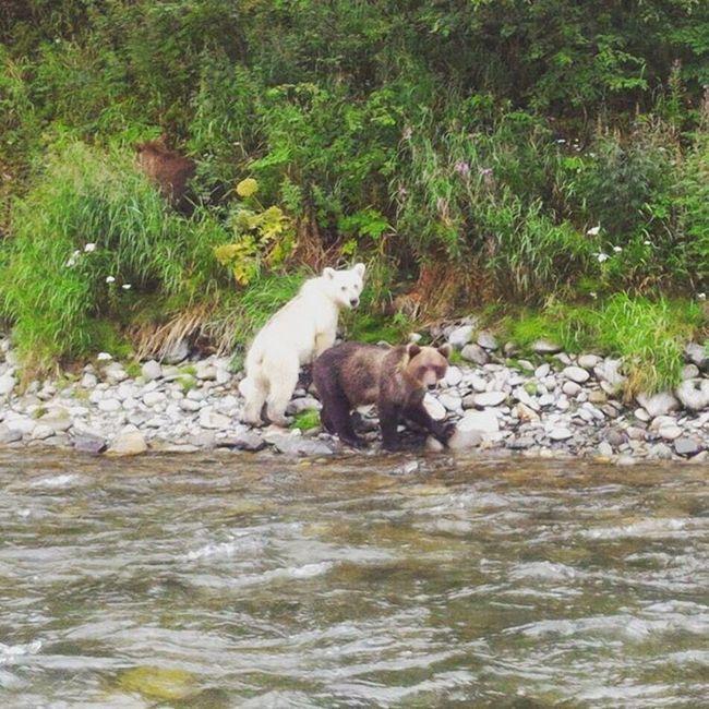 Ведмедик білого забарвлення став зіркою Камчатки.