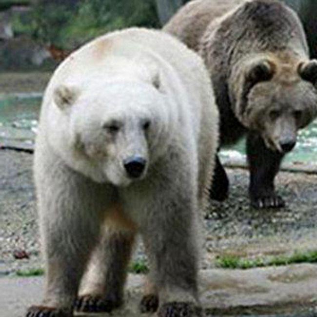 Відрізнити білого ведмедя від бурого досить легко.