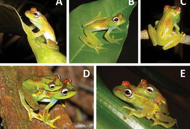 На Мадагаскарі знайшли незвичайний вид жаб