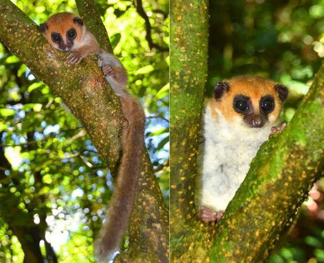 На Мадагаскарі знайшли нового лемура.