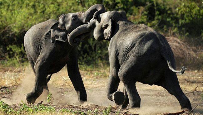 Важко уявити щось більш страшне, ніж розлючений озброєний бивнями звір вагою в кілька тонн.