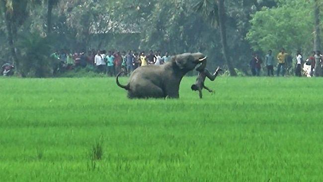 Навесні цього року кілька диких слонів напали на працювали в полі селян.