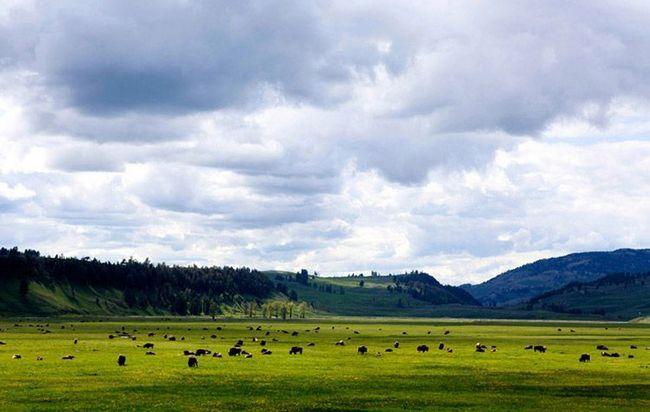 У парку є і ділянки степової рослинності, на яких пасуться огрядні стада бізонів