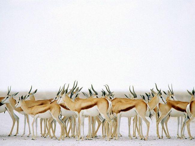 Стадо спрингбок в висушеної до білого пустелі