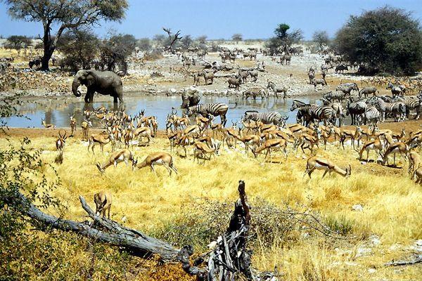 Скупчення тварин в Національному парку Етоша здаються намальованими живописцем, але це реальна, а не постановочна фотографія