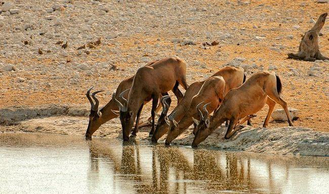 Мешканці Національного парку Етоша в прямому і переносному сенсі слова схиляються перед водою. Зараз черга антилоп конгоні пригорнутися до джерела