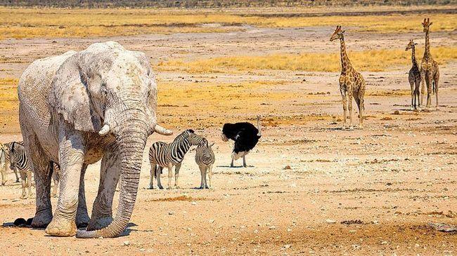Білий слон - диво природи? Ні, просто тварина вивалявся в білій пилу Етоша