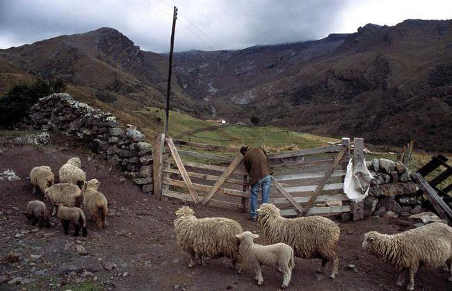Вівці-мериноси біля входу в Посада Сьєрра Невада, заїжджий будинок зроблений в альпійському стилі і розташований на висоті 3,96 км.