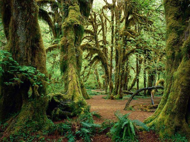Дерева в лісі Хох густо поросли мохом і лишайниками і більше схожі на казкові персонажі.