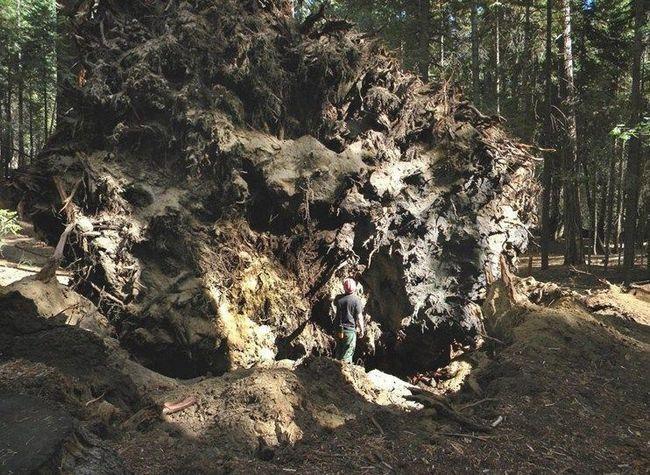 Людина на тлі коренів впала секвої.