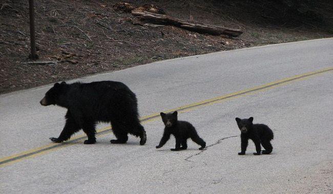 Чорні ведмеді переходять дорогу.