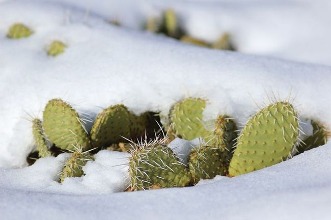 Кактуси під снігом.