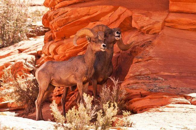 Пара баранів толсторогов на тлі скелі.