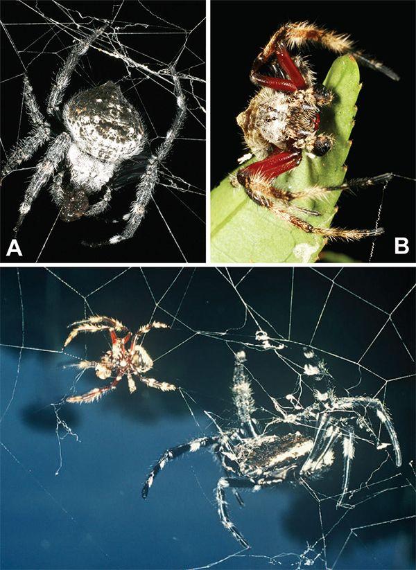 Самка (А) і самець (В) C. darwini. Самка, як можна помітити, значно більші. (Ілюстрації з Journal of Arachnology.)