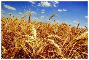 Народно-господарське значення і біологічні особливості озимої пшениці