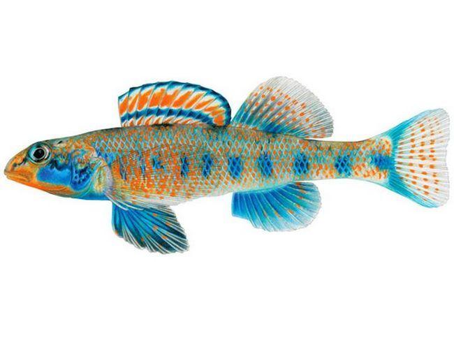Відкритий ними новий вид рибок називається Etheostoma obama. Це невелика,