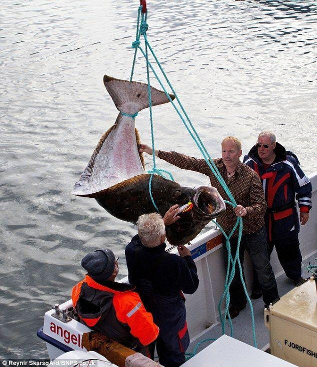 Палтус - вид хижої риби загону камбалообразних, що має важливе промислове значення.