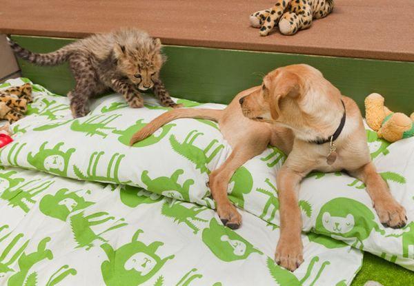 Незвичайна дружба гепарда і собаки