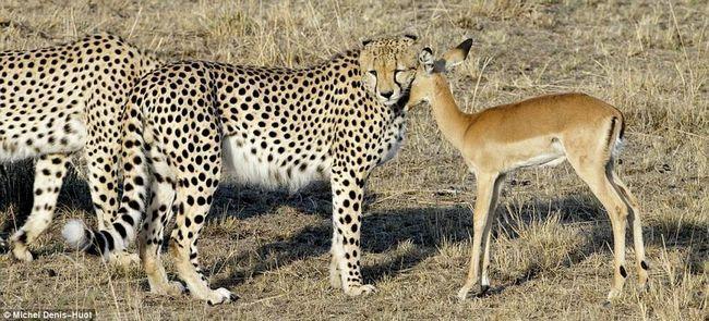 Незвичайна історія трьох гепардів і молодойантілопи