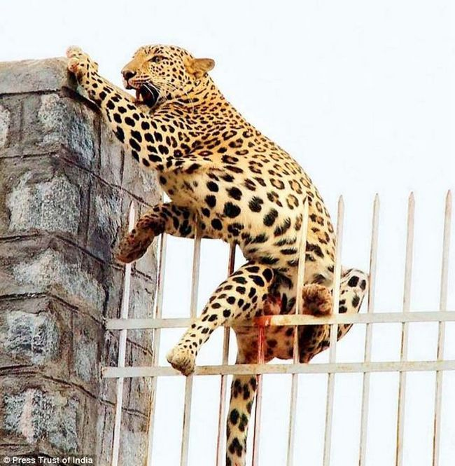 В індії врятували самку леопарда застрягла на металевій огорожі