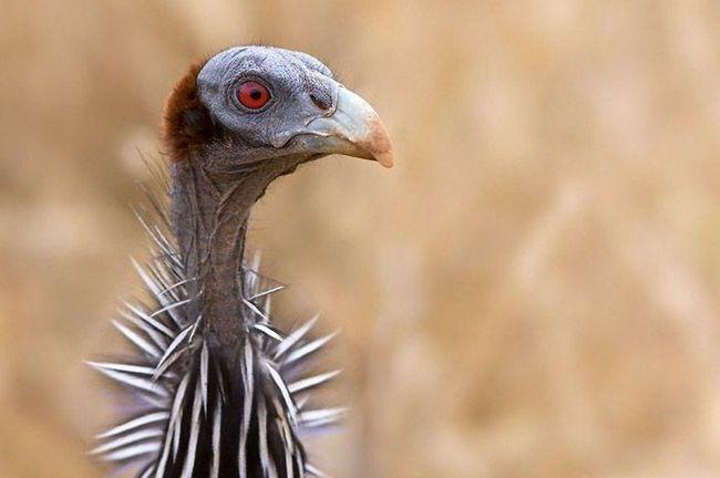 Голова грифова цесарки гола і без наростів, зате шию обрамляє комірець з коротких пір`я.